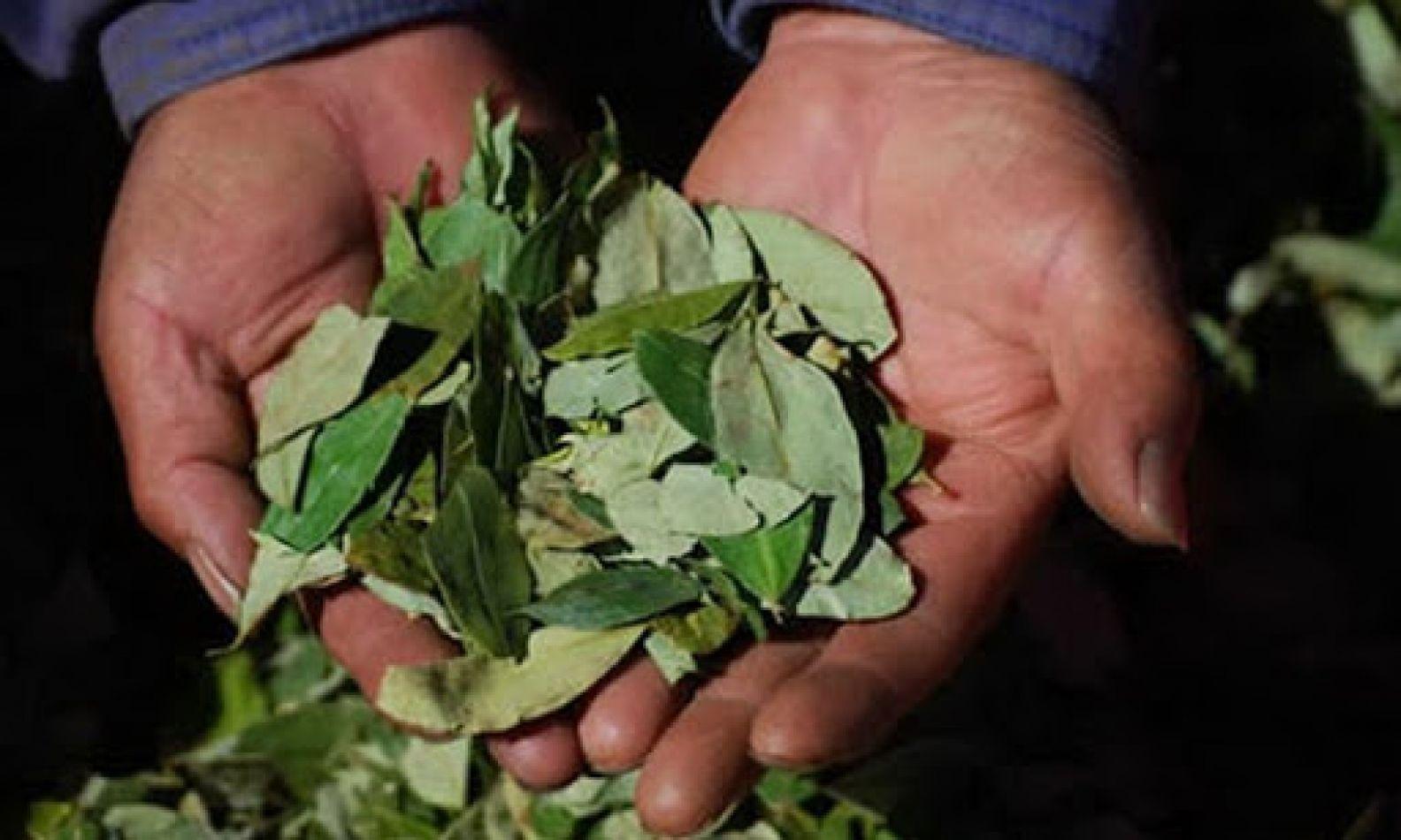 """""""Coca para todos"""", la justicia federal autorizó la entrega de hojas de coca incautadas"""