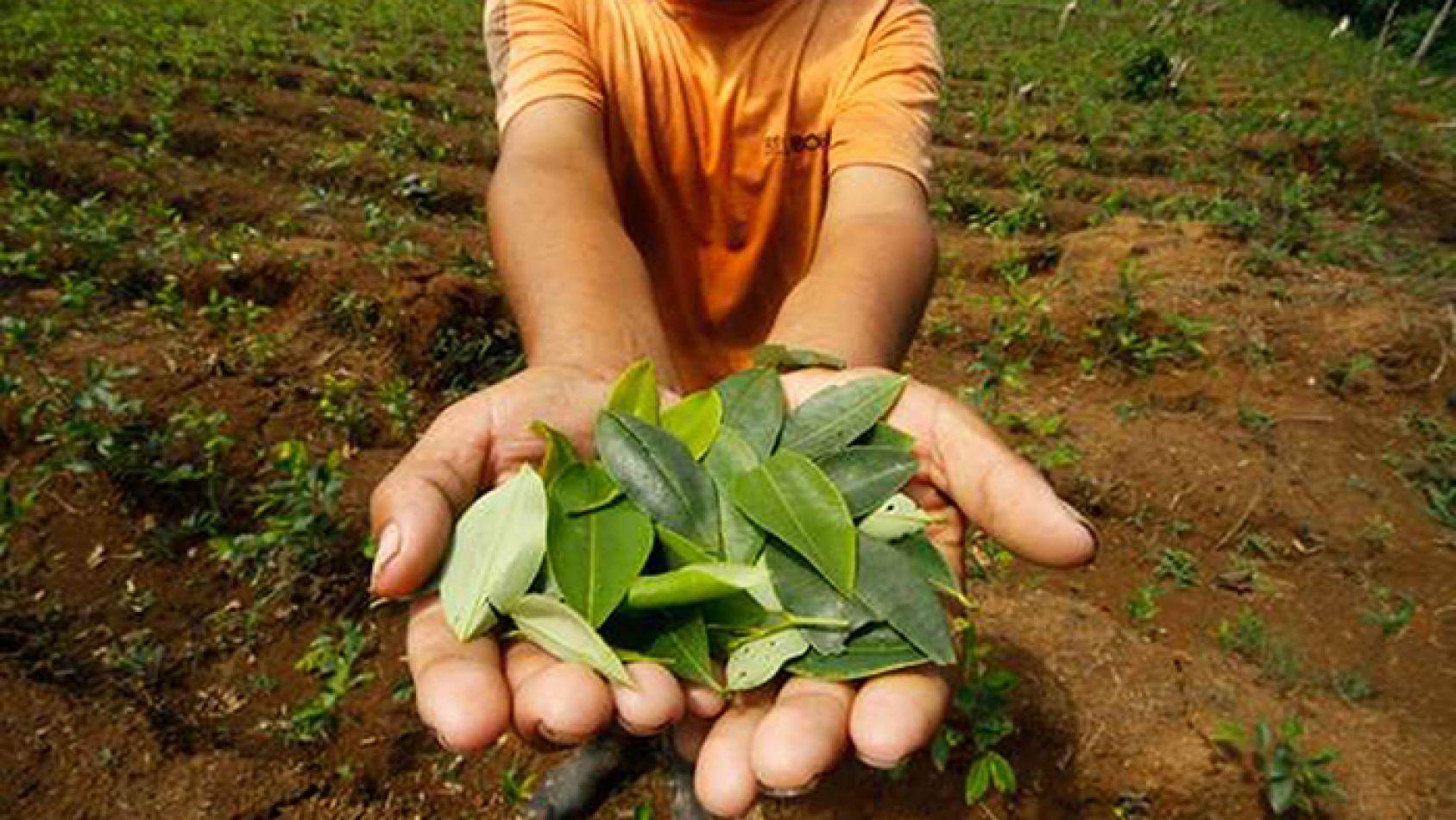 Para acceder a las hojas de coca que repartirá el gobierno, habrá que anotarse en una página web